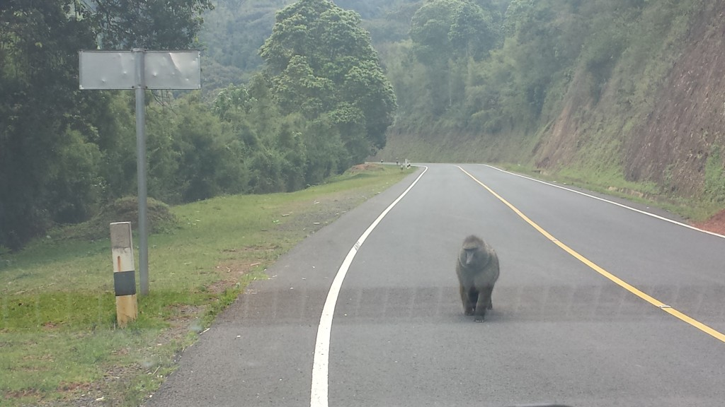 A baboon strolls onto the road.